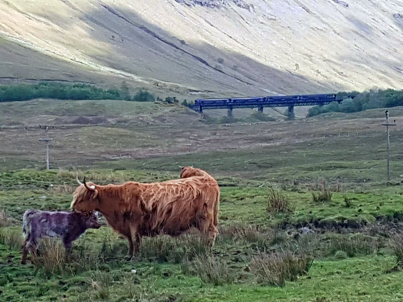 West Highland Way Cows