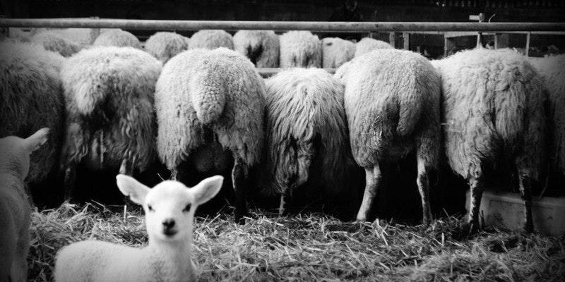 Arnprior Lambing Experiences